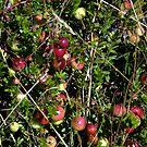 Roadside Cranberries by Len Bomba