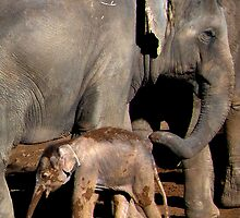 Elephant baby with Mother by Pam Bennun