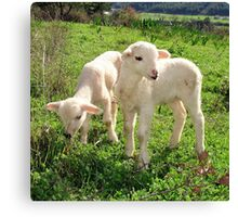 Spring Lambs Grazing On Farmland Canvas Print
