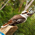 Kookaburra by Liz Percival