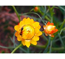 Honey Ant on Native Flowers Photographic Print