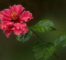 Hibiscus by Vickie Burt