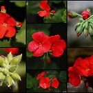 The Red Geranium by AnnDixon