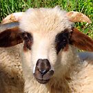 Sheep Portrait Close Up by taiche
