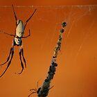 Spider in Kalbarri by iandsmith