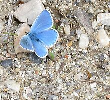 Adonis Blue butterfly by jacqi