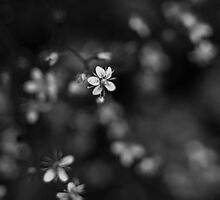 Blossom in black and white by Sophie Goldsworthy