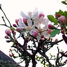 Apple Blossom by Teacup