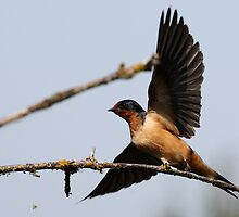 Barn Swallow Taking Flight by Wolf Read