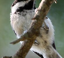 Black-Capped Chickadee From Below by Wolf Read