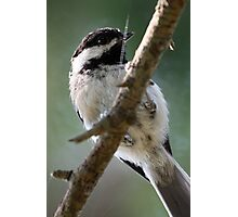 Black-Capped Chickadee From Below Photographic Print