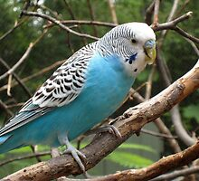 Adorbz Budgerigar