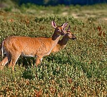 whitetail deer by RosiesPhotos
