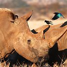 white rhino & glossy starling by karen peacock
