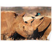 white rhino & glossy starling Poster