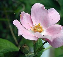 """Wild Rose On A Windy Day"" by Melinda Stewart Page"