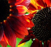 Arundel sunflowers by Ms-Bexy