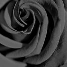 The Rose by Susan C. Snider