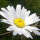 Close Up of a Margarite Daisy Flower by taiche