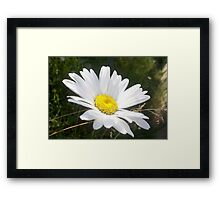 Close Up of a Margarite Daisy Flower Framed Print