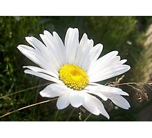 Close Up of a Margarite Daisy Flower Photographic Print