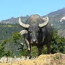 Water Buffalo in Sa Pa, Vietnam by BurrowsImages