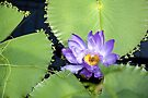 Giant Amazonian Water Lilly: Victoria Amazonica by DonDavisUK