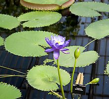 Water Lily by DonDavisUK