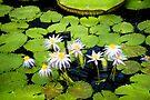 Waterlily by DonDavisUK