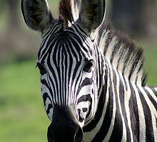 Zebra in Chobe National Park by LizFSmith