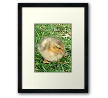 Little Duckling  Framed Print