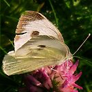 White with black spots butterfly by loiteke