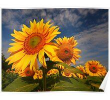 Sunflower morning 2 Poster