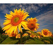 Sunflower morning 2 Photographic Print