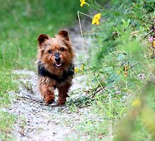 Fluffy Australian Terrier