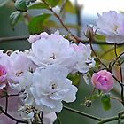 Pink and White Roses by lynn carter