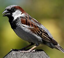 A Handsome Sparrow by Wolf Read