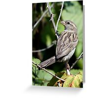 House Sparrow Female on Blackberry Vine Greeting Card