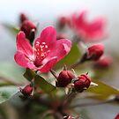 Crabapple Blossoms by ElyseFradkin