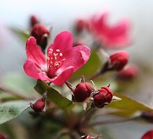 Crabapple Blossoms by ElyseFradkin