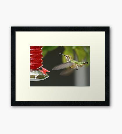 Feeding Hummingbird Framed Print