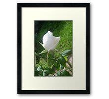 Lonely Lily Like Rosebud Framed Print