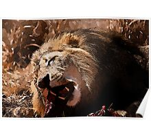 Male Lion Devouring Meal Poster