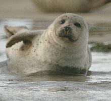 baby seal by JohnT