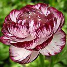 Ranunculus by ElyseFradkin