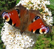Peacock on Buddleia by jacqi