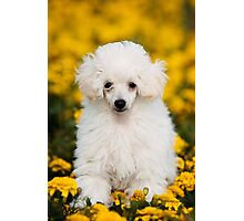 White poodle puppy in flowers Photographic Print