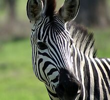 Zebra in Okavango Delta by LizFSmith
