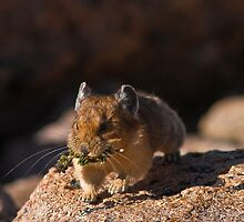 Pika In Action by Jay Ryser