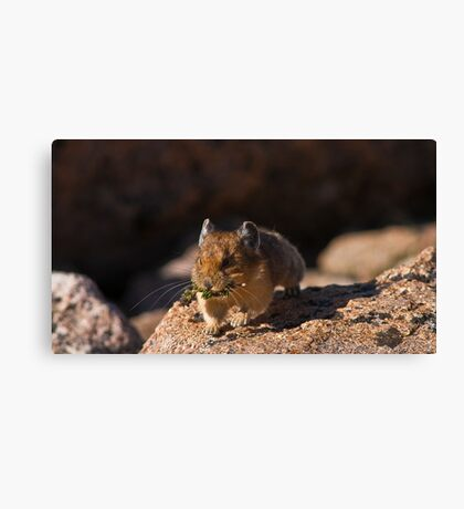 Pika In Action Canvas Print